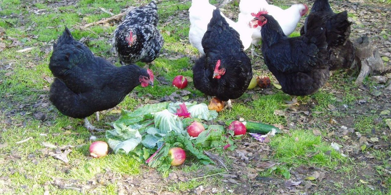 Better Eggs from Backyard Chickens Without Grain