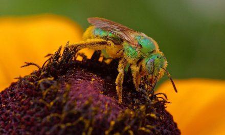 U.S. Wild Bee Loss Documented