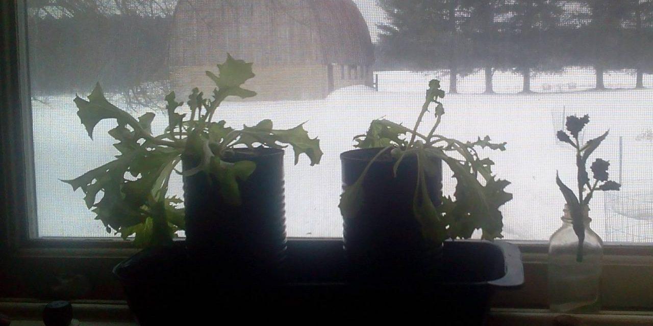 Windowsill Gardens Need No Grow Lights