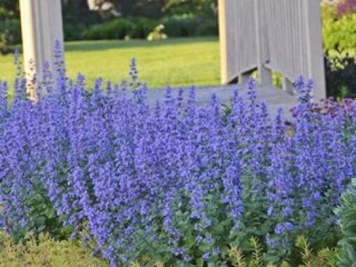 Cat's Meow Catmint Proven Winners Sycamore, IL