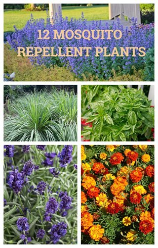 12 mosquito repellent plants garden