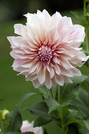 Types Of Dahlias Garden Design