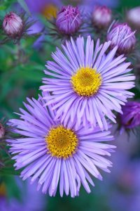 Asters  How to Grow  Care  and Design with These Fall Flowers      Mrs  S T  Wright  aster   Photo by  Richard Bloom