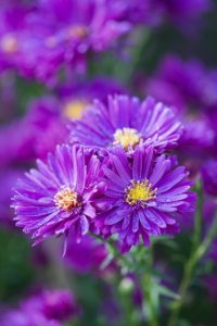 Asters  How to Grow  Care  and Design with These Fall Flowers      Purple Dome  aster   Photo by  Richard Bloom