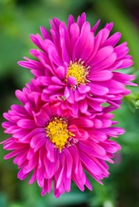 images for flowers aster