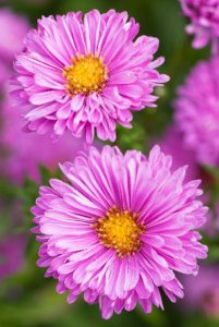 Asters  How to Grow  Care  and Design with These Fall Flowers      Patricia Ballard  aster   Photo by  Richard Bloom