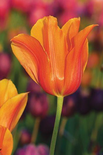 Tulip Light Bulbs