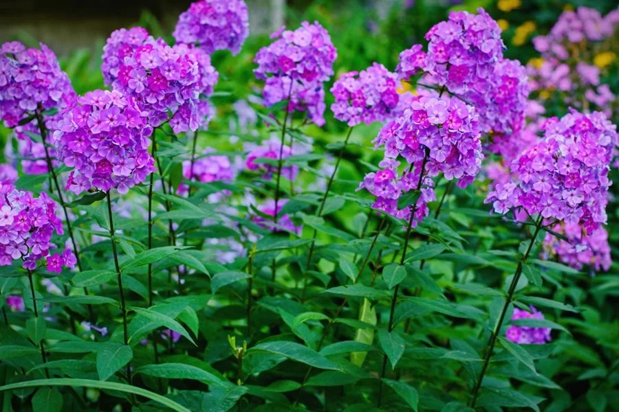 Growing Phlox Planting Caring For Garden Phlox Garden