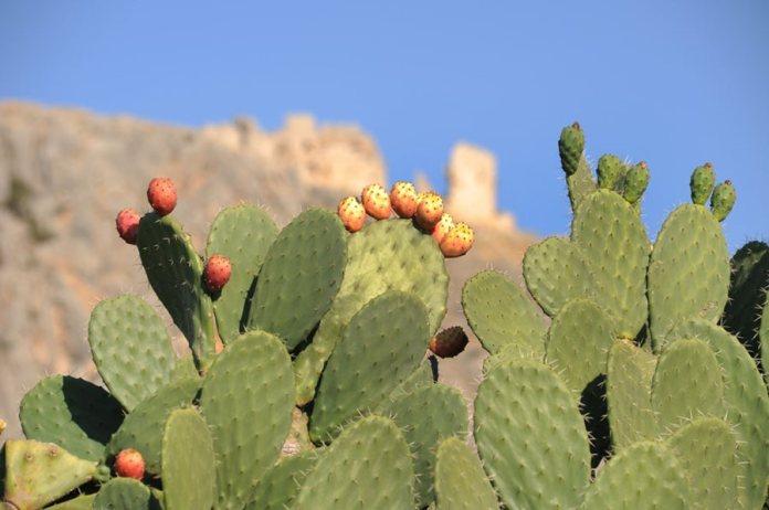 Resultado de imagen para prickly pear cactus
