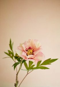 Growing Peonies   How to Plant   Care for Peony Flowers   Garden Design Marchioness  Peony  Fragrant  Shrub Garden Design Calimesa  CA