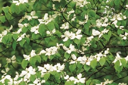 Flowers online 2018 pink flowering dogwood growth rate flowers pink flowering dogwood growth rate these flowers are very beautiful here we offer a collection of beautiful cute charming funny and unique flower mightylinksfo