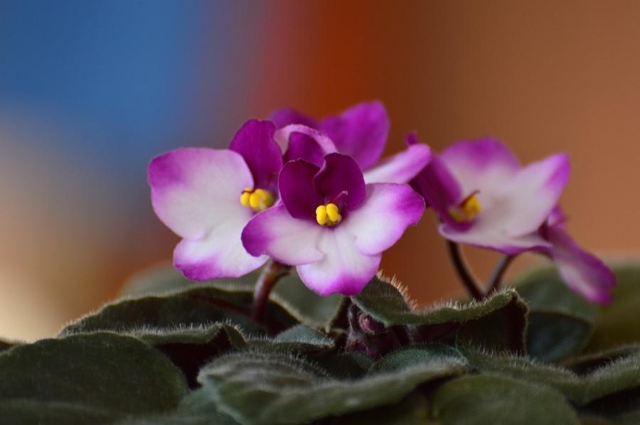 African violet leaf problems