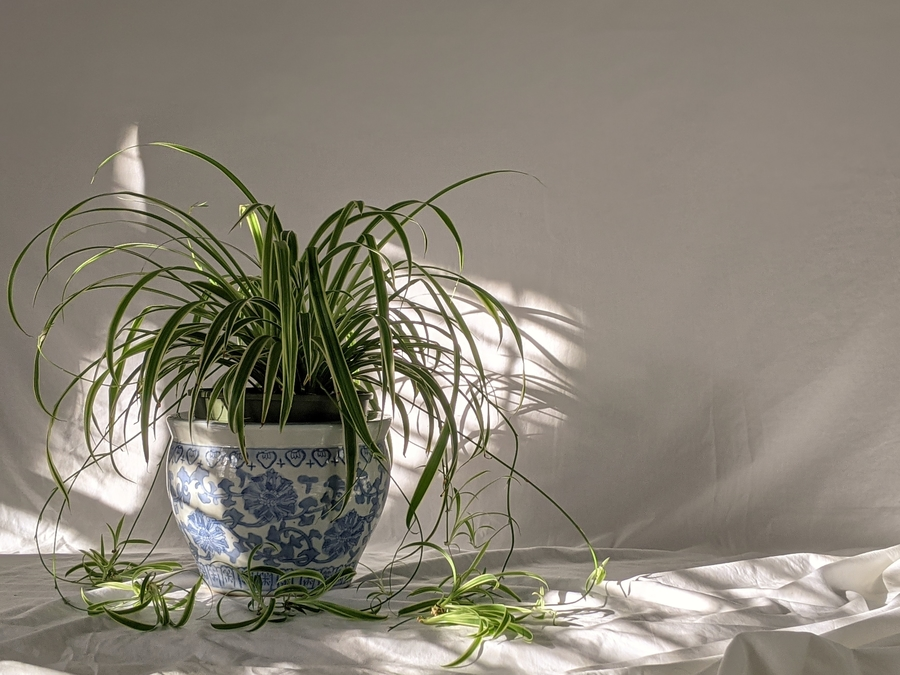 spider plant falling over