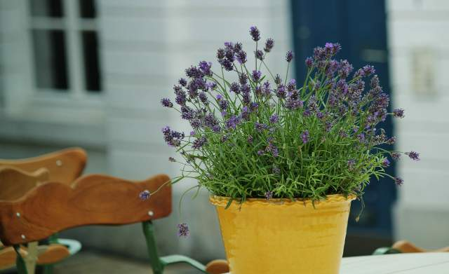 potted lavender with yellow leaves 5