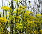 fennel-licorice