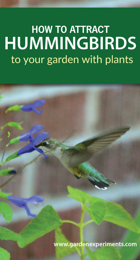 How to attract hummingbirds to your garden - what flowers to plant
