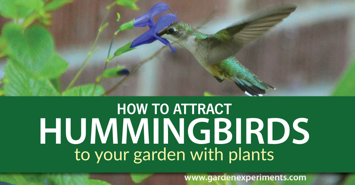 How to attract hummingbirds to your garden with plants