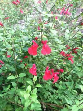 Red and White Salvia