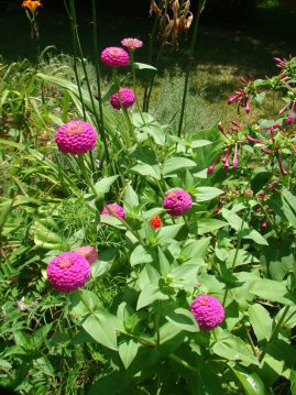 Zinnias and Four O'Clocks