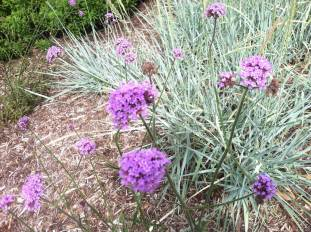 tall verbena with a variegated pale grass