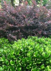 lime green colors of the holly mix with the burgundy of the shrub in the background