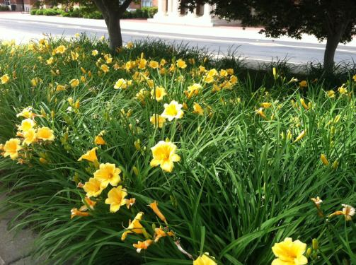 Day lilies placed under Japanese maples add layers and prevent the need for weeding