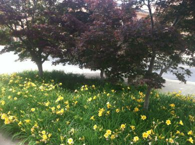 Day lilies under Japanese maple