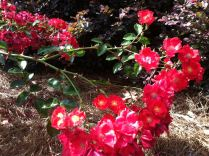 bright red roses in front of burgundy leaves