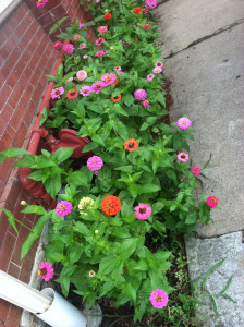 Zinnias planted along wall add a bright spot of color