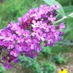 Butterfly Bush – Buddleia spp. (Buddleja)