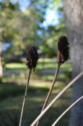 Giant coneflower seed heads