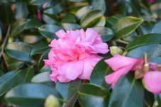 Camelias - great shrub for shady areas