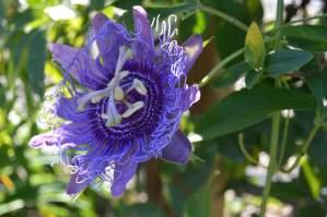 Purple Passionflower: Passiflora incarnata