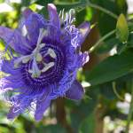 Purple Passionflower: Passiflora incarnata