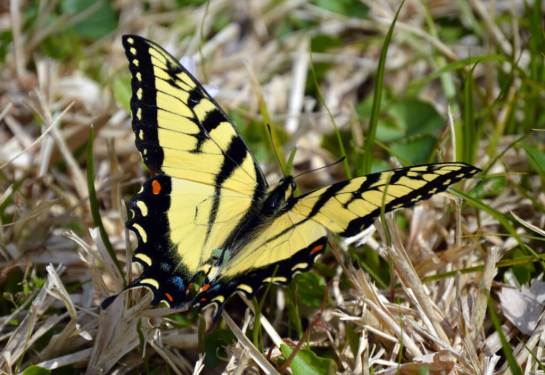 Eater tiger swallowtail (Papilio glaucus) found in late March