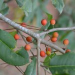 Plant American Holly for Winter Color and Wildlife Food