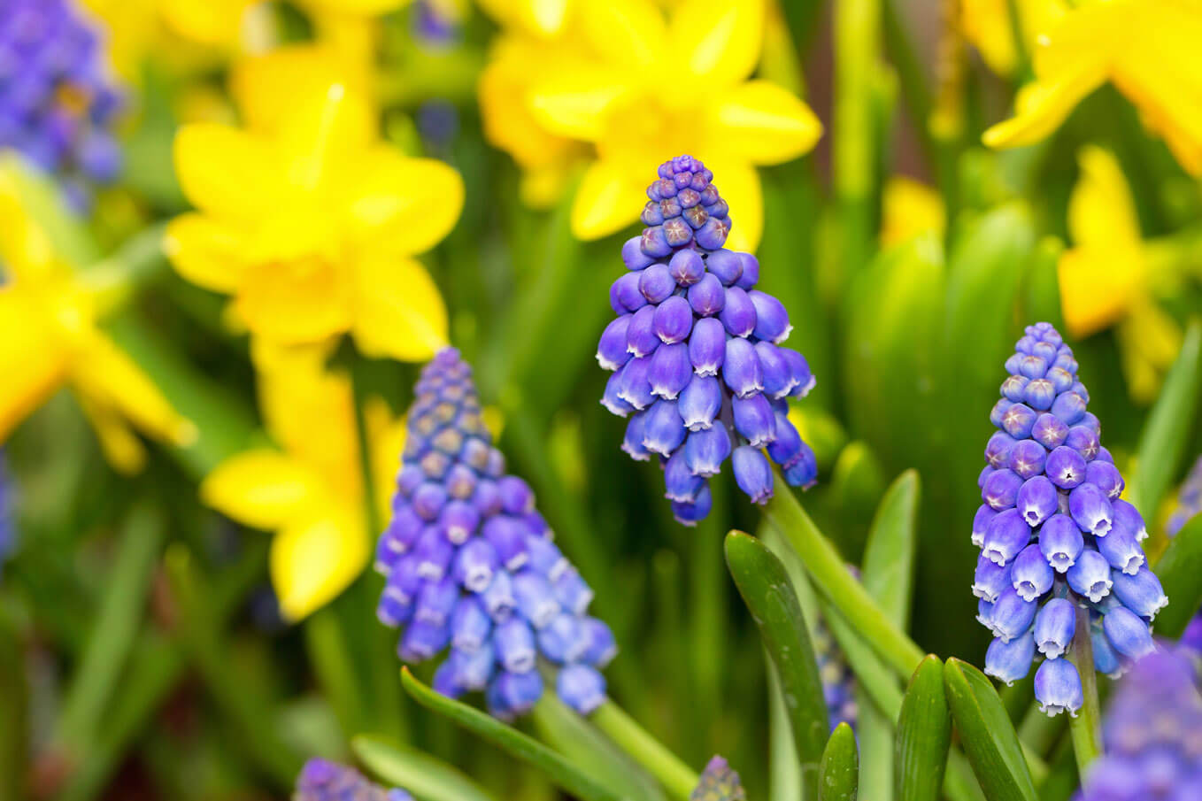 How and when to plant bulbs in fall to get spring flowers grape hyacinths planted in with miniature daffodils mightylinksfo