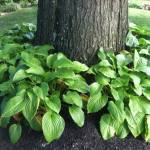 These hostas look great - but you'd have to have decent soil and adequate water