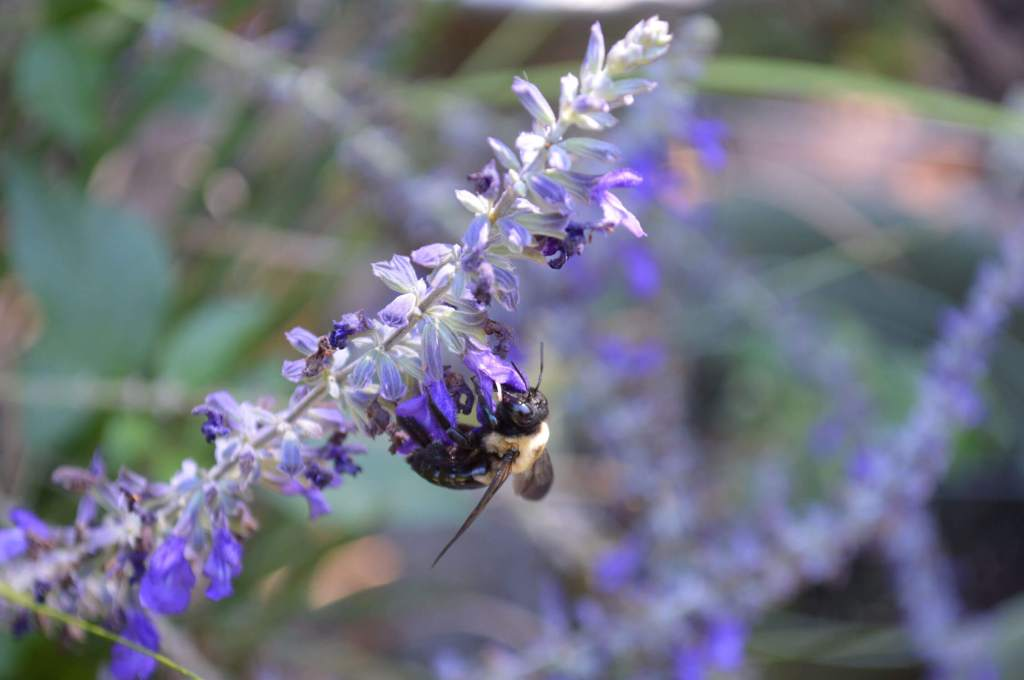 Bumblebee feeding on nectar from a purple salvia