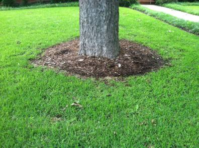 Wood mulch at the base of the tree