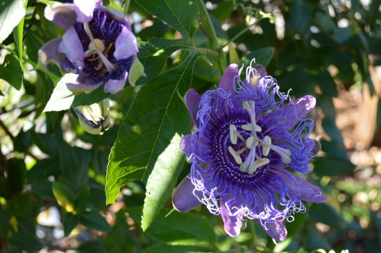 Purple passionflower growing on a trellis