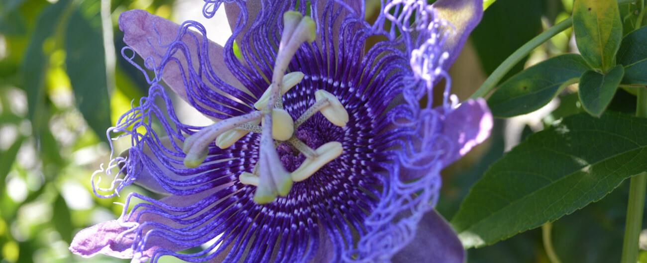 Purple passionflower passiflora incarnata purple passionflower mightylinksfo
