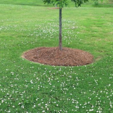Pine mulch at the base of this tree