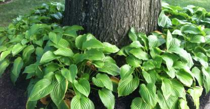 Hostas look great around the base of this tree but you'd have to have decent soil and adequate water.