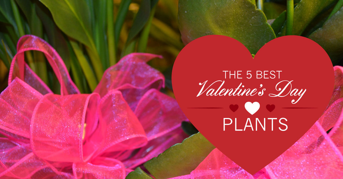 5 Best Valentine's Day Plants