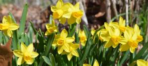 Daffodils from the garden