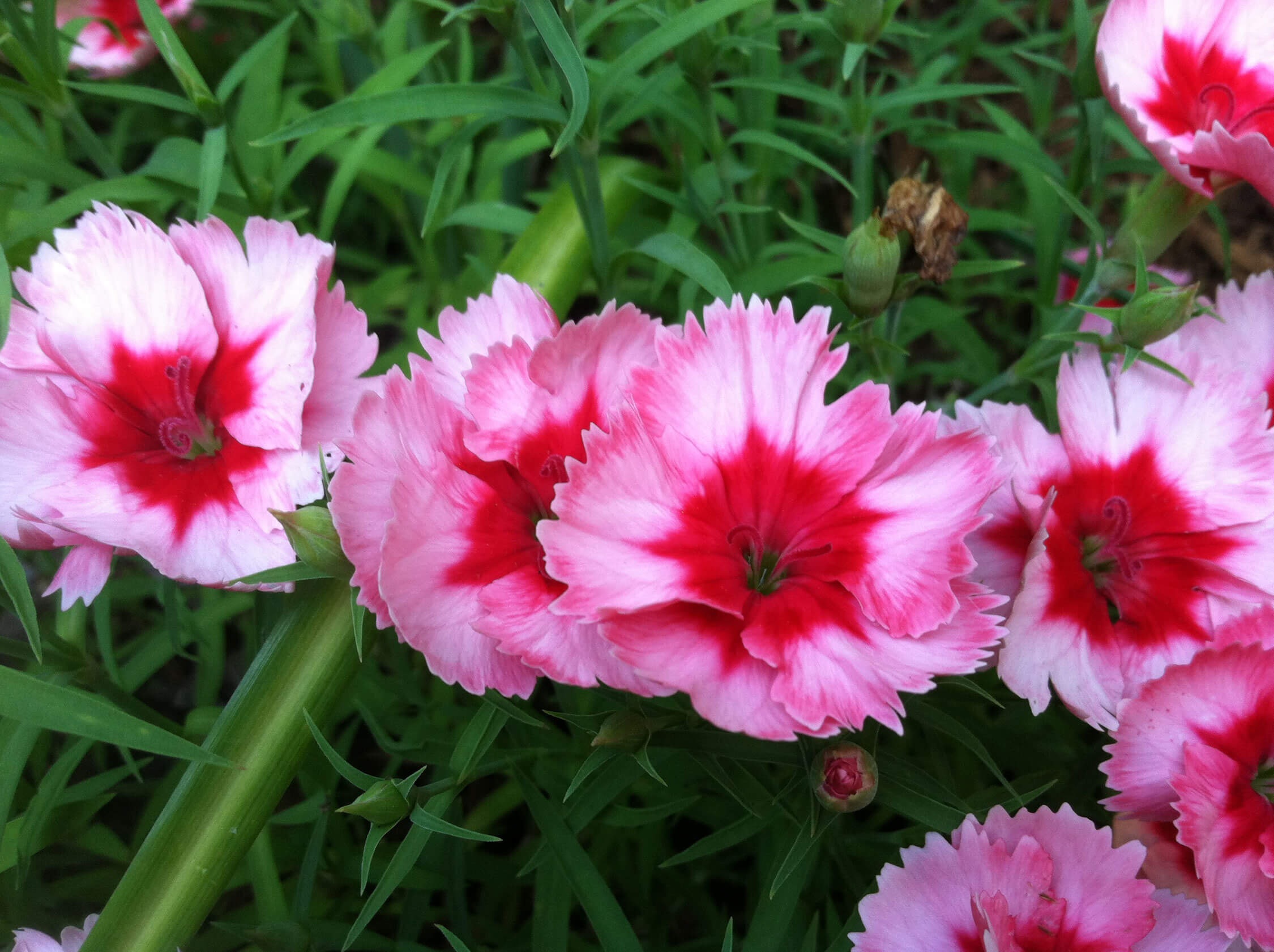 Dianthus Pinks Carnations And Sweet Williams