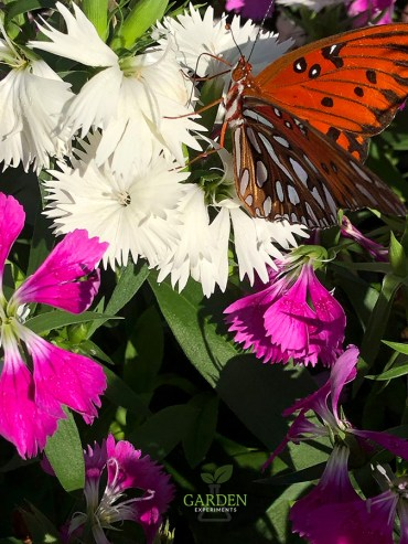 Gulf fritillary butterfly feeding on white Dianthus flowers