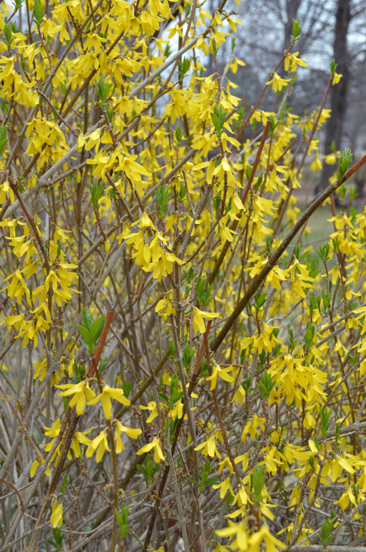 forsythia bush hedge forsythia a shrub for early spring color