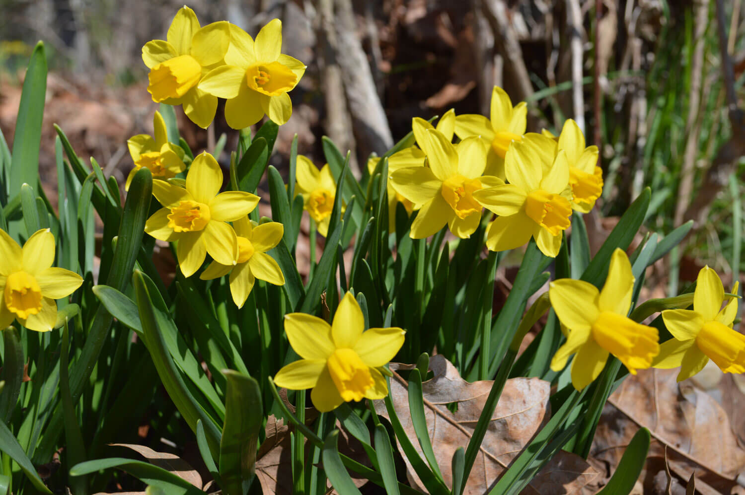 the daffodils and to daffodils Find great deals on ebay for artificial daffodils in floral home decor shop with confidence.